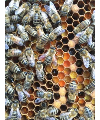 Essaim d'abeilles Carnica, sur 5 cadres type Dadant,