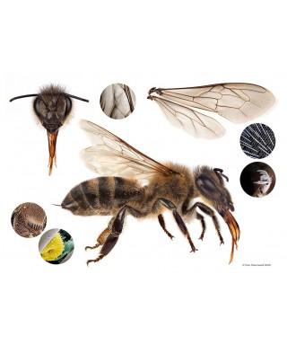 Poster mega abeille 84.1 x 59.4 cm