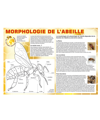 Tableau morphologie abeille