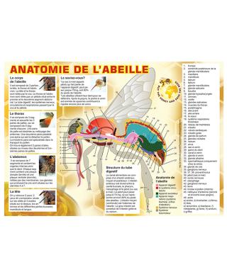 Tableau anatomie abeille